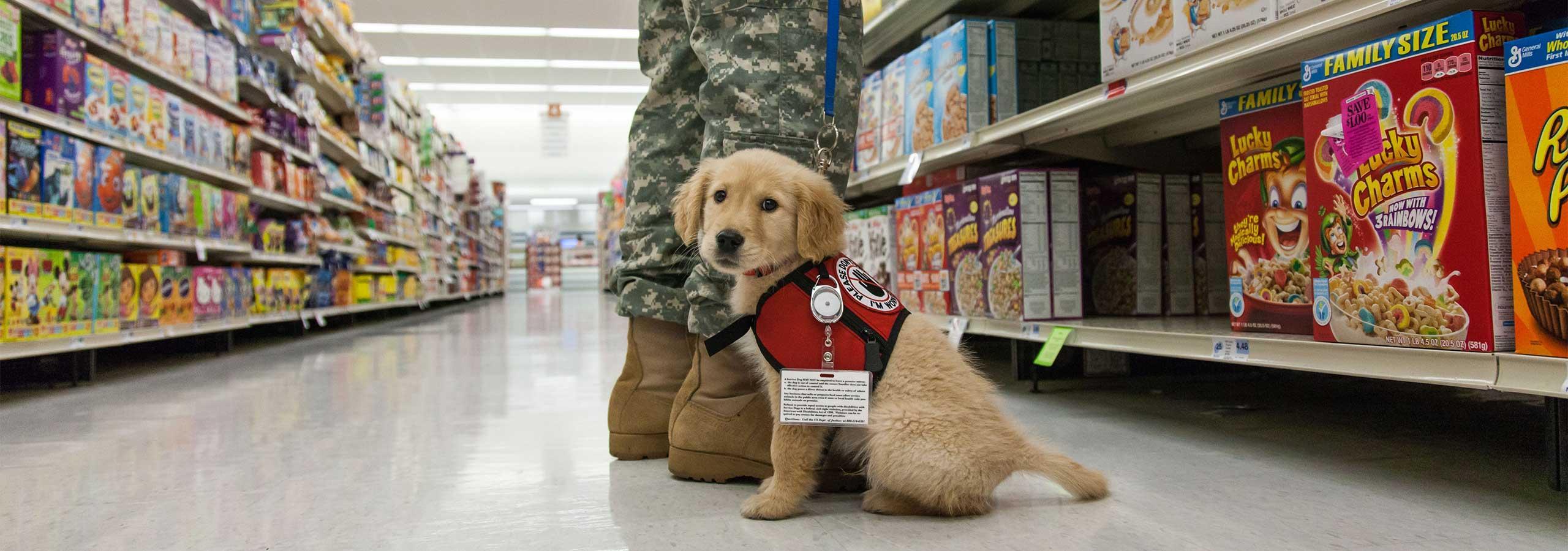 Labrador Retriever Service Dog Breeders